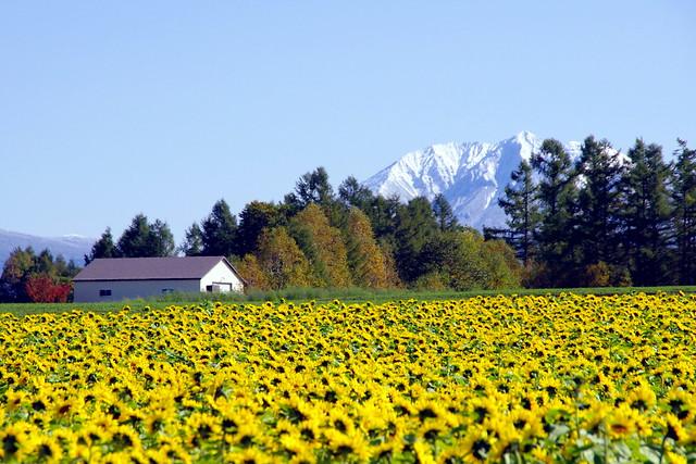 雪山と向日葵畑1