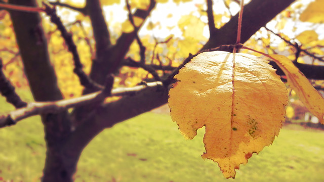 Shining Yellow Leaf