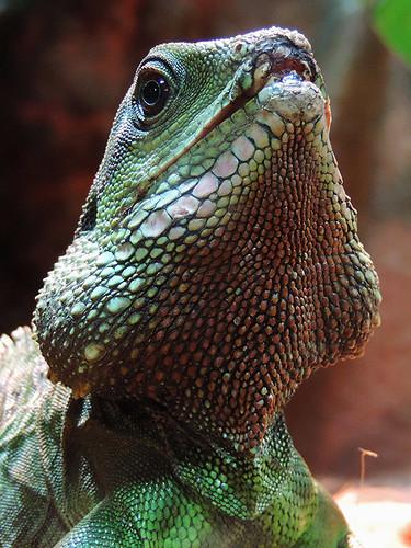 Izadora's Blog  » Blog Archive   » Costa Rican Iguanas