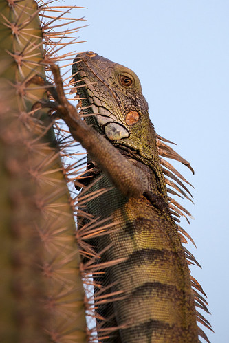 sunset wild cactus nature animal animals cacti canon outdoors natural reptile wildlife aruba lizard iguanaiguana greeniguana 5dmarkii canon5dmarkii