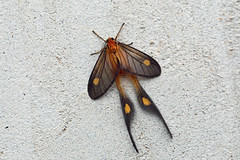 Himantopteridae