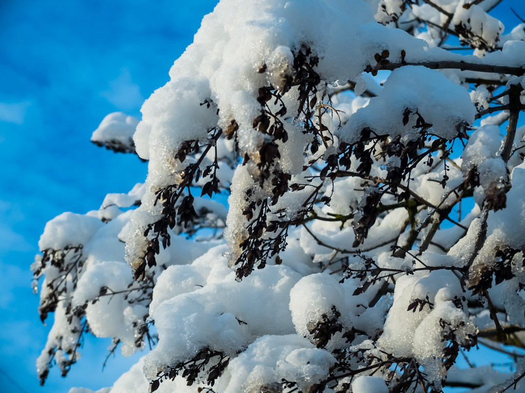 love all that snow hanging on the tree DSCF3387