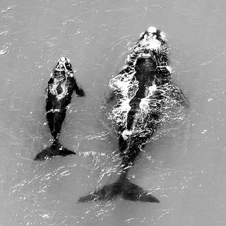 Southern right whales, mother with calf