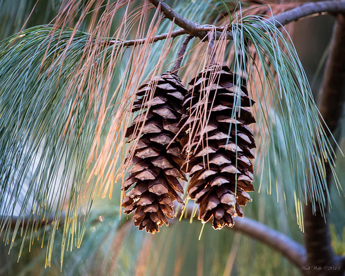 Eastern White Pine by andiwolfe