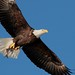 049 american bald eagle by starc283
