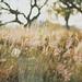 Wild Grass by anshu_si