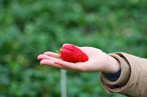 またイチゴ狩り