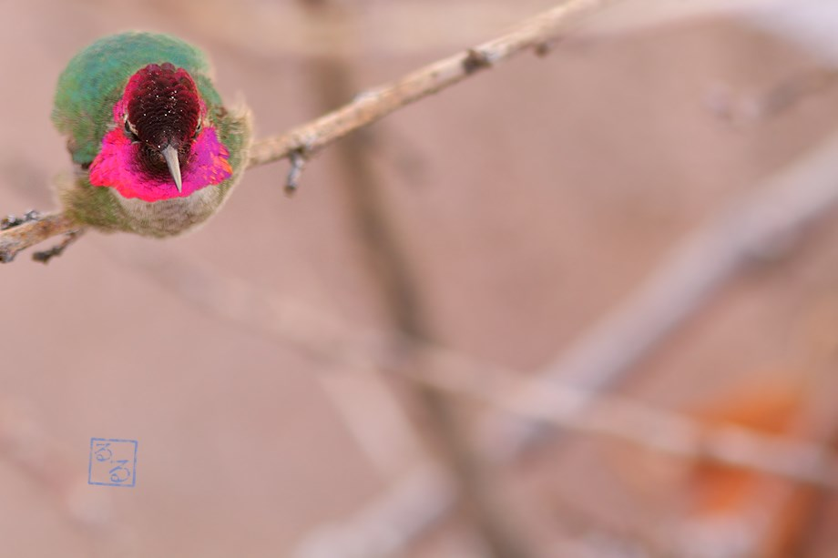 Anna's Hummingbird 031914