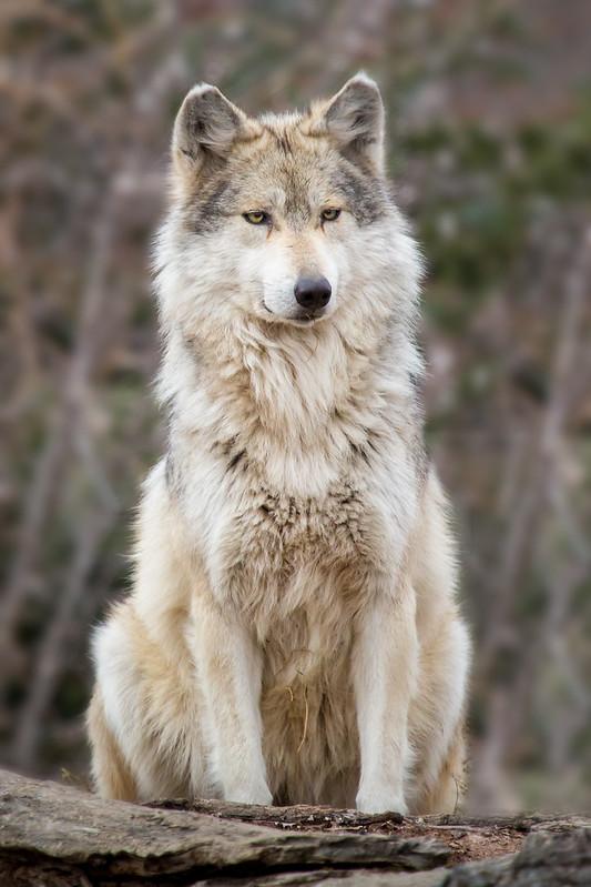 Wolf Laser Lock