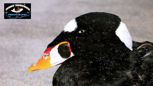 A Surf Scoter (Male ) / El Resaca Negreta