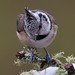Crested Tit - Pretty as a Picture! by Sandy MacLennan