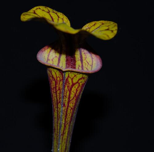 Photo Plantes--carnivors ( Sarracenia ) 14088908688_cf6c8e93f6