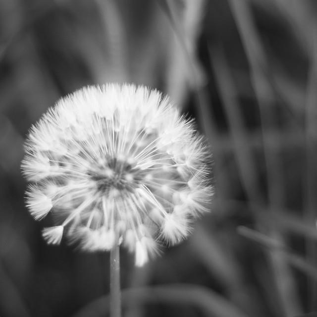 [057] Fluffy Blowball