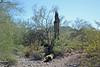 Saguaro Downed :(