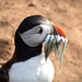 Puffin with eels by W_Armstro