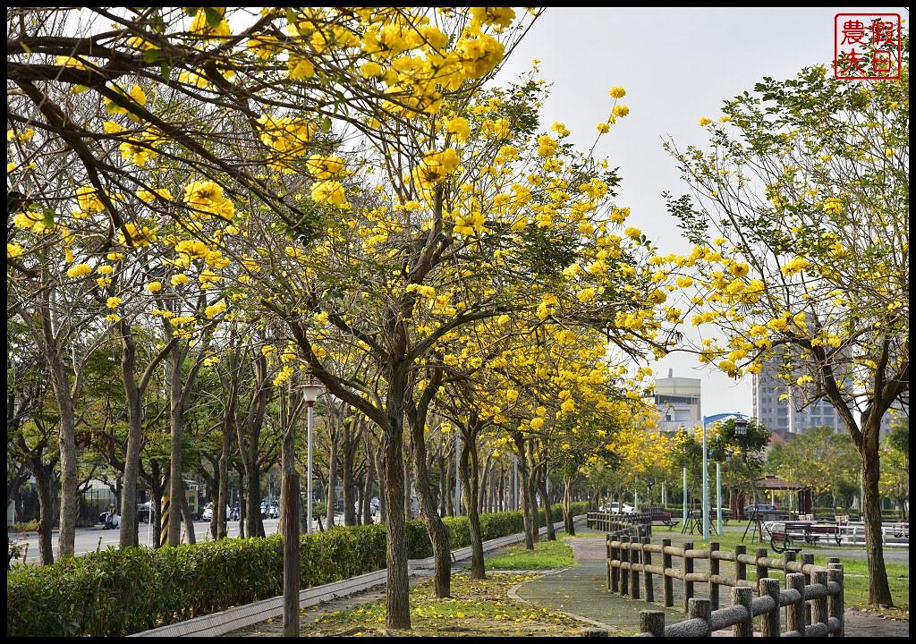 大坑公園風鈴木_DSC5211