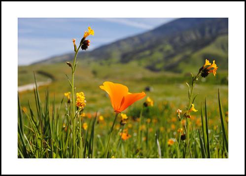 eastwoodsfiddleneck amsinckiaeastwoodiae california 2017wildflowers 2017 wildflowers kerncounty hwy223 eschscholziacalifornica
