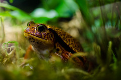 newt(0.0), tree frog(0.0), bullfrog(0.0), salamandridae(0.0), animal(1.0), amphibian(1.0), frog(1.0), nature(1.0), macro photography(1.0), green(1.0), fauna(1.0), close-up(1.0), ranidae(1.0), wildlife(1.0),