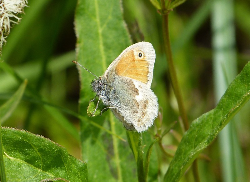 P1050013 - Small Heath, Kenfig NNR