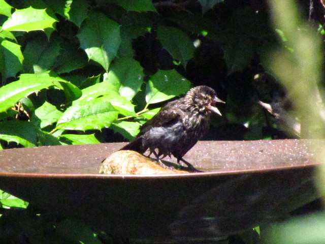 juv. Red-winged Blackbird?3 6:24:13