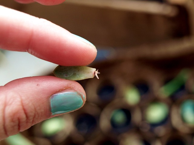 succulent propagation update