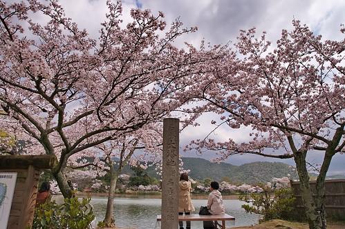 【写真】桜 : 大覚寺