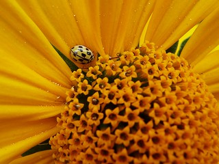 Yellow flower - yellow bug
