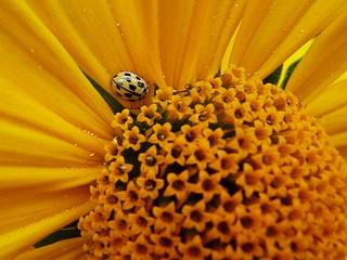 Yellow flower - yellow bug
