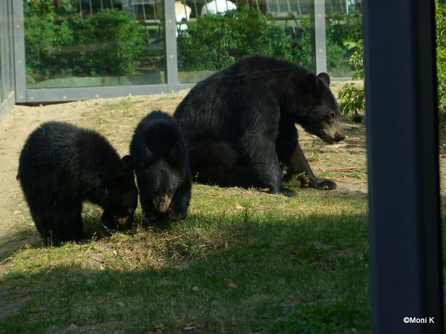 6-die Bärin Rita mit ihren Söhnen Koda und Kanai