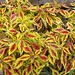 Small photo of Coleus Pineapple Splash