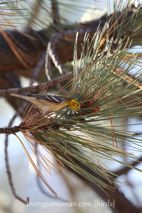 081813_bird_warblerA01