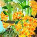 Sunbird, Dendroium densiflorum