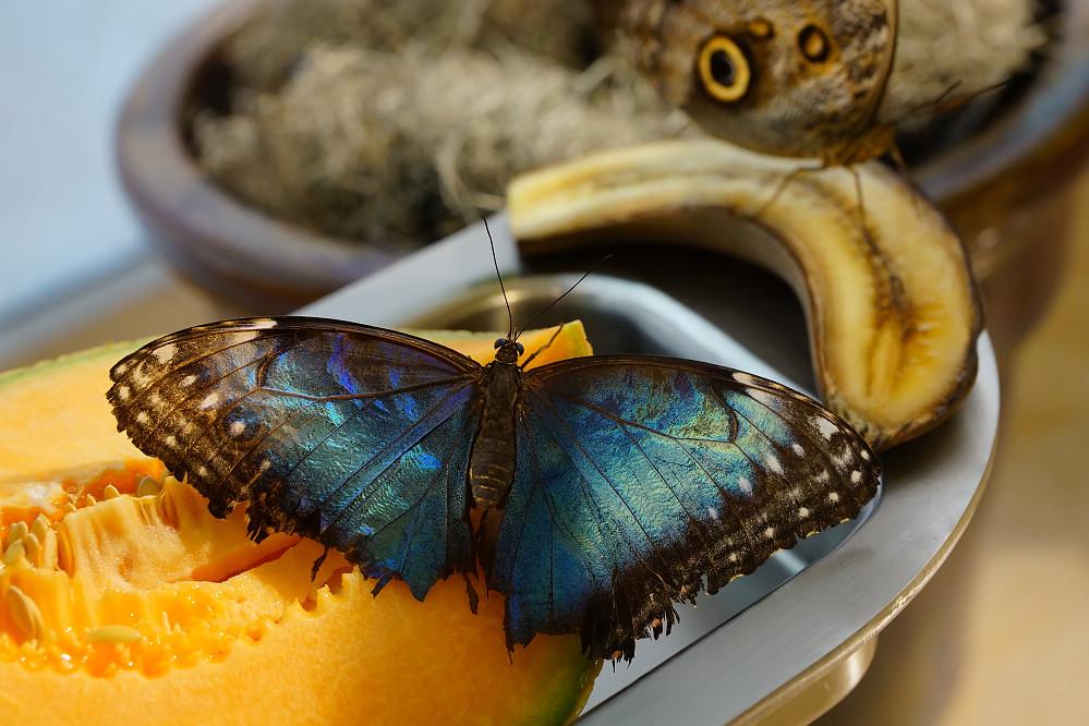 美洲蛺蝶 Morpho peleides-5