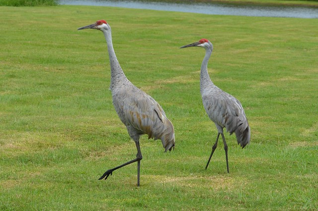 Sandhill Crane Florida Flickr Photo Sharing