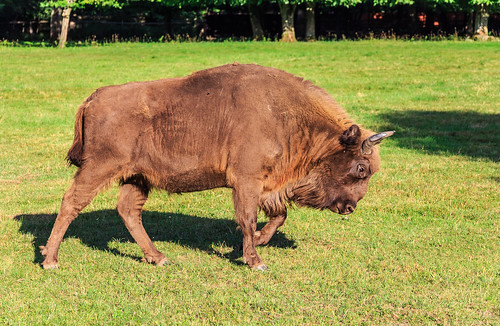 The European bison (female) in one of the few places it's living freely, the Białowieża Forest in east Poland (the forest is a natural UNESCO world heritage site)