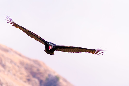 Turkey Vulture Headshot by sbisson
