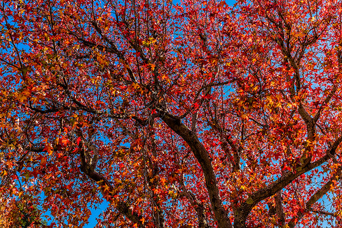 Fall foliage, Fairfax, CA 11-2013 by joeeisner