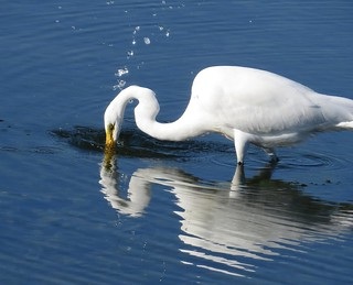 Egret Diving for Fish