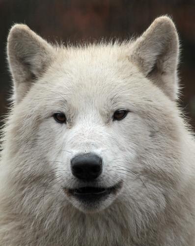 hudsonbay wolf artis IMG_0045 by j.a.kok