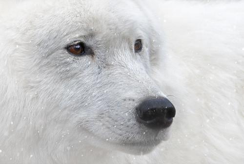 Canadian Arctic Wolf