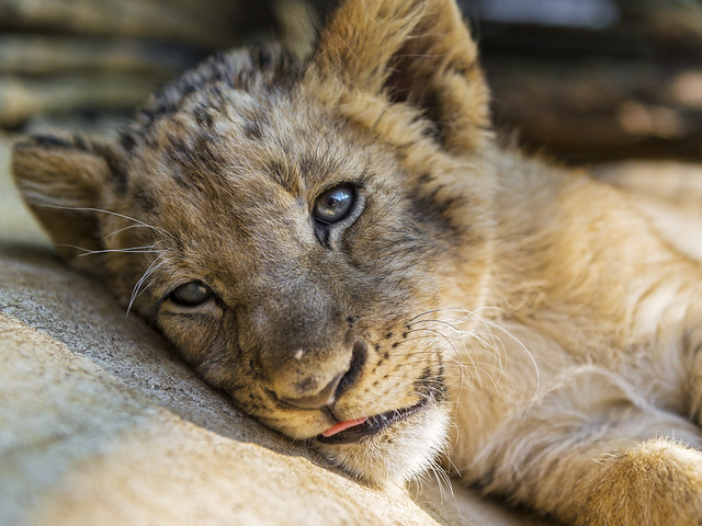 Cub relaxing at the nursery