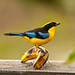 Blue-winged Tanager