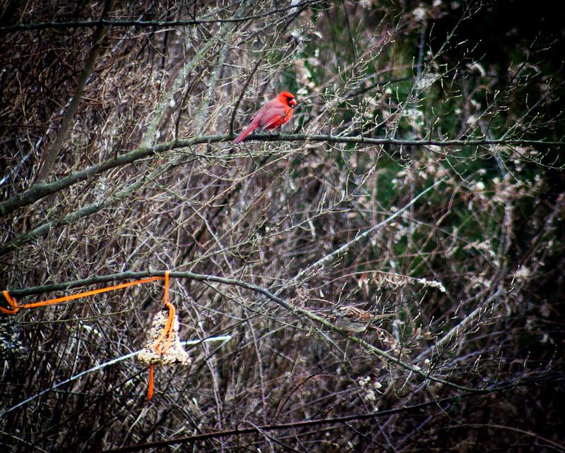cardinaloutsideourwindow