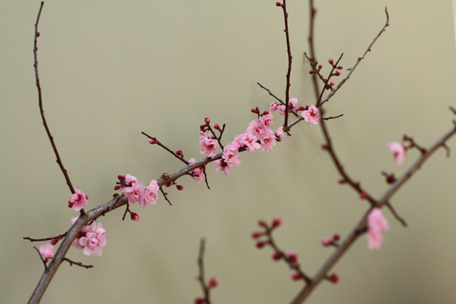 pink flowering plum branch