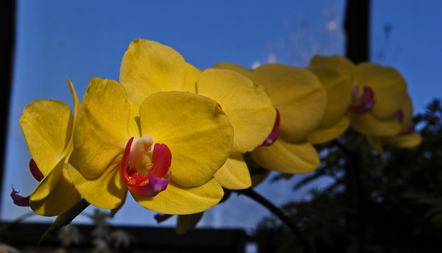 Phalaenopsis 'Fuller's Sunset'