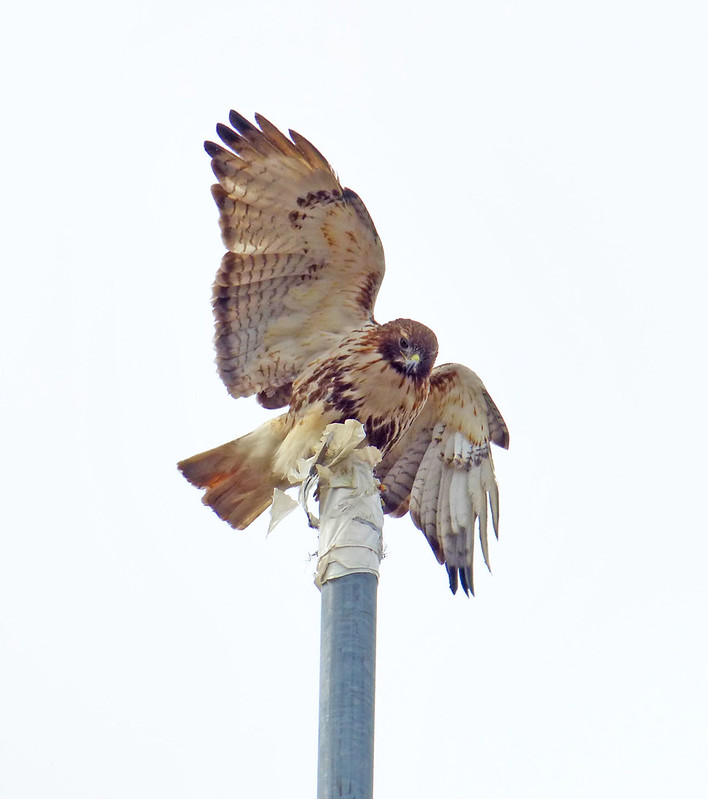 Male red tail tearing nest material off a pipe