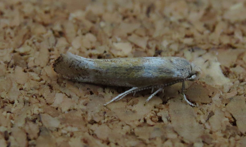 Cedestis gysseleniella Tophill Low NR, East Yorkshire July 2015
