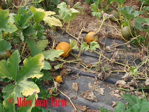 Squash Bug Pumpkin Patch