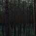 Pine Forest by Jarrofoto