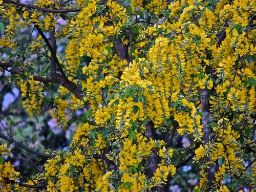 Laburnum Blossom .....(143/365) by Irene_A_